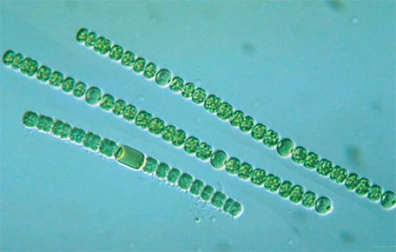 culture-anabaena